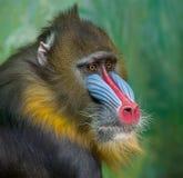 St?ende av mandrillen, Mandrillussfinx, primat av apafamiljen f?r gammal v?rld arkivbilder