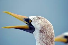 St?ende av seabirden som namnges maskerad dumskalle royaltyfri fotografi