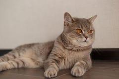 St?ende av skotskt rakt f?r gullig katt royaltyfria bilder
