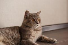 St?ende av skotskt rakt f?r gullig katt fotografering för bildbyråer