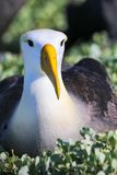 St?ende av Waved albatrossen nationalpark p? f?r den Espanola ?n, Galapagos, Ecuador royaltyfria foton
