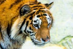 St?ende f?r Siberian tiger Menande fara f?r aggressiv stirrandeframsida f?r rovet Closeupsikt till det ilskna uttryckt royaltyfria bilder