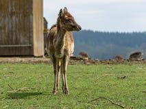 St?ende med en suddig bakgrund av kor f?r en dovhjort, djurliv royaltyfri foto