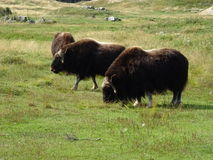 St Felicien зоопарка: буйволы стоковое фото