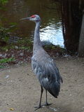 St Felicien зоопарка: кран sandhill Стоковое Изображение