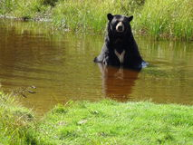 St Felicien зоопарка: черный медведь стоковое фото rf