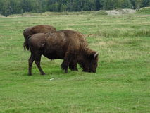 St Felicien dello zoo: bufali Immagini Stock Libere da Diritti