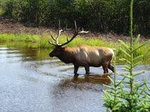 St Felicien dello zoo: caribù di terreno boscoso Fotografie Stock Libere da Diritti