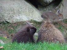 St Felicien dello zoo: istrice due e un coniglio Fotografia Stock Libera da Diritti