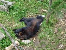 St Felicien dello zoo: Un ghiottone Fotografia Stock