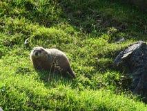 St Felicien dello zoo: una marmotta Fotografia Stock