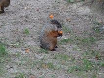 St Felicien dello zoo: una marmotta Immagini Stock Libere da Diritti