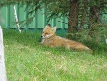 St Felicien dello zoo: una volpe rossa Fotografie Stock Libere da Diritti