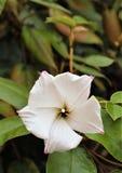 St Helena Ebony, planta pequena da florescência branca fotografia de stock