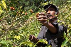 St.- Helenakaffeelandwirt, der reife Kirschbohnen auswählt Stockfoto