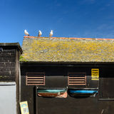 St Ives seagulls. Three seagulls sits on top a fragile roof in obvious defiance of the sign saying to keep off the roof. Two model boats are part of the wall - a Royalty Free Stock Image