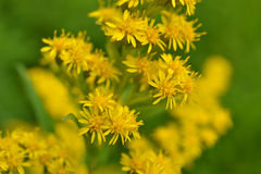 St. Jacobs Herb or Hypericum perforatum. Stock Image