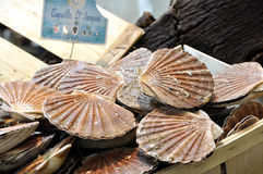 St Jacques scallops Stock Photos