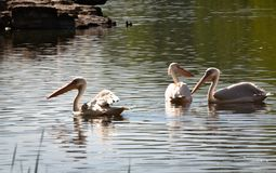 White pelicans - II - St James Park - London. St James`s Park is at the very heart of London, covering 23 hectares 58 acres and has a lake harbouring ducks royalty free stock photos