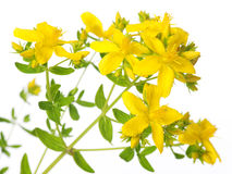 St. John�s Wort Stock Photo