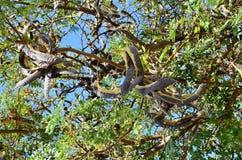 St. John`s Bread - Common rosette detail of fruits and leaves. NStill green tree Common rosette with fruits stock image
