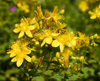 St. John S Wort Royalty Free Stock Photos