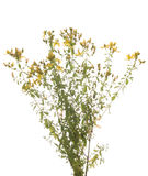 St. John's Wort. Yellow on white background Stock Images