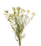St. John's Wort. Yellow on white background Stock Photography
