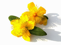 St. John's Wort. Two blooms of St. John's Wort on a white background, with shadows Stock Photos