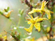 St John's wort. (lat. Hypericum perforatum)with water drops Royalty Free Stock Photos