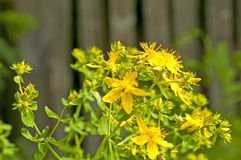 St. John's wort. Medicine plant, closeup of the flower Stock Image
