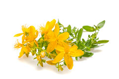 St John's wort. Isolated on white Royalty Free Stock Images