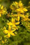 St. John's Wort. Bush of yellow herb St -John's -wort's Royalty Free Stock Photo