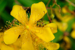 St. John's Wort Blooming in Summer Royalty Free Stock Photo