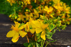 St. John's wort close up Royalty Free Stock Images
