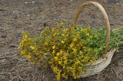 St. John's wort. Collected for drying in big wicker basket royalty free stock images