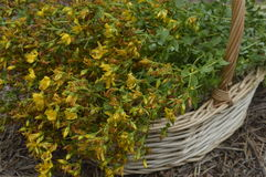 St. John's wort. Collected for drying in big wicker basket stock images
