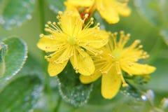 St. John's wort. Flower. Stock Image