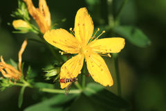 St. John's Wort Flower Royalty Free Stock Images