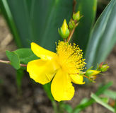 St. John's wort flower Stock Photo