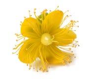 St. John's wort flower Stock Image