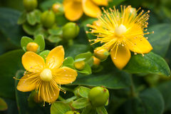 St. John's Wort. Flowering plant in the background of green leaves Stock Images