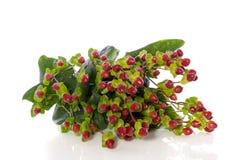 St. John's Wort flowers Stock Image