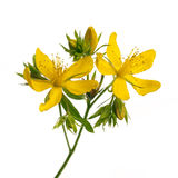 St. John's Wort flowers. Fresh medicinal plant St. John's Wort branch closeup with yellow flowers and buds isolated on white background Stock Photo