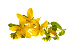 St. John's Wort flowers Royalty Free Stock Photos