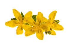 St. John's Wort flowers. Yellow flowers of medicinal plant St. John's Wort close up isolated on white background Stock Images