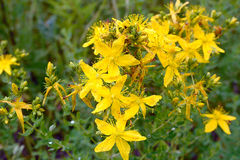 St. John's wort flowers. Yellow wild flowers herb St. John's wort Royalty Free Stock Image