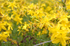 St. John's wort flowers. Yellow wild flowers herb St. John's wort Royalty Free Stock Photos