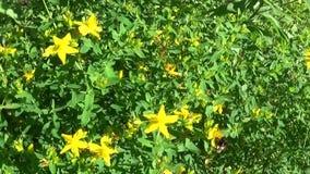 St John ` s wort, geneeskrachtige installatie met bloem op het gebied stock footage