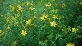 St John ` s wort, geneeskrachtige installatie met bloem op het gebied stock video